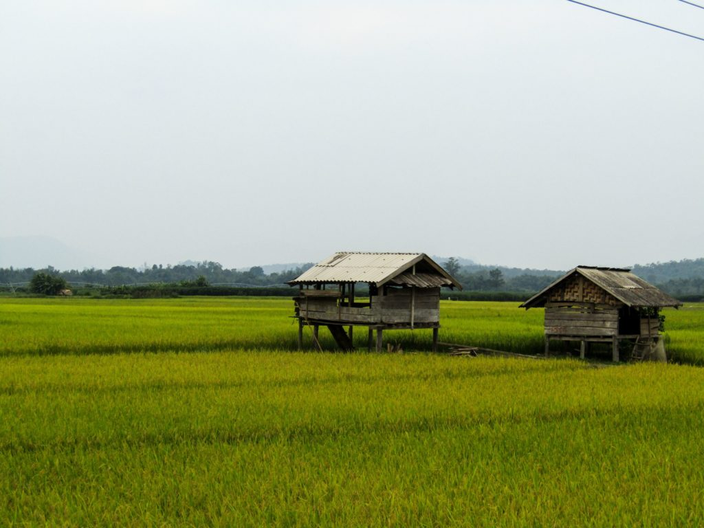 Rice fields lining the road